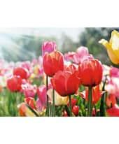 Bild Tulpenmeer Vorderansicht