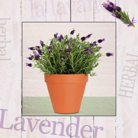 Bild Lavendel Vorderansicht